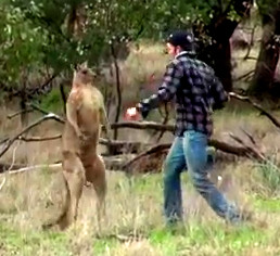 Kangaroo versus Aussie — place your bets and protect yer dog