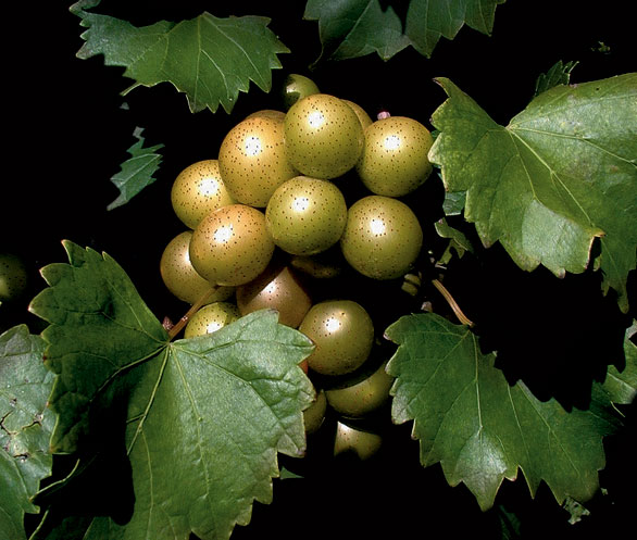 scuppernong-southern-grapes