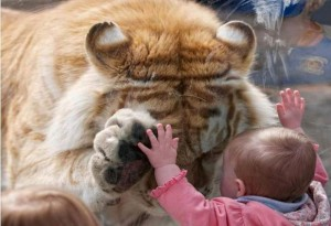 bengal-tiger-lifts-paw-to-glass-for-little-white-girl
