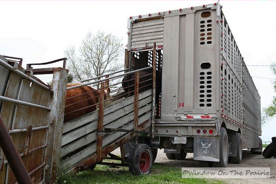 cattle_yard-to-cattle-car