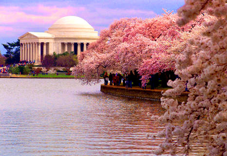 cherry-blossom-jefferson-memorial