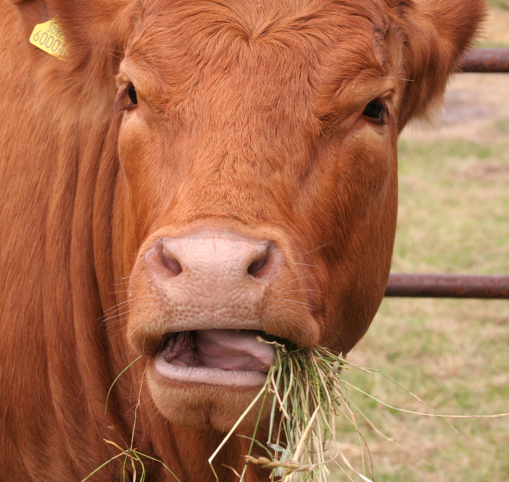 cow-chewing-hay