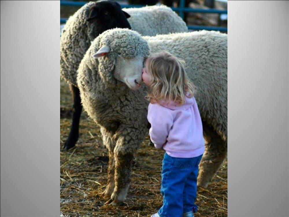 sheep-little-girl-smooching